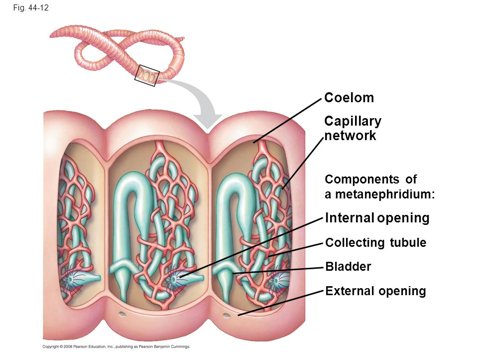 Fig. 44-12 Capillary network Components of a metanephridium: External opening Coelom Collecting tubule Internal opening Bladder