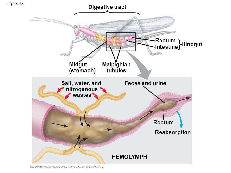 Fig. 44-13 Rectum Digestive tract Hindgut Intestine Malpighian tubules Rectum Feces and urine HEMOLYMPH Reabsorption Midgut (stomach) Salt, water, and