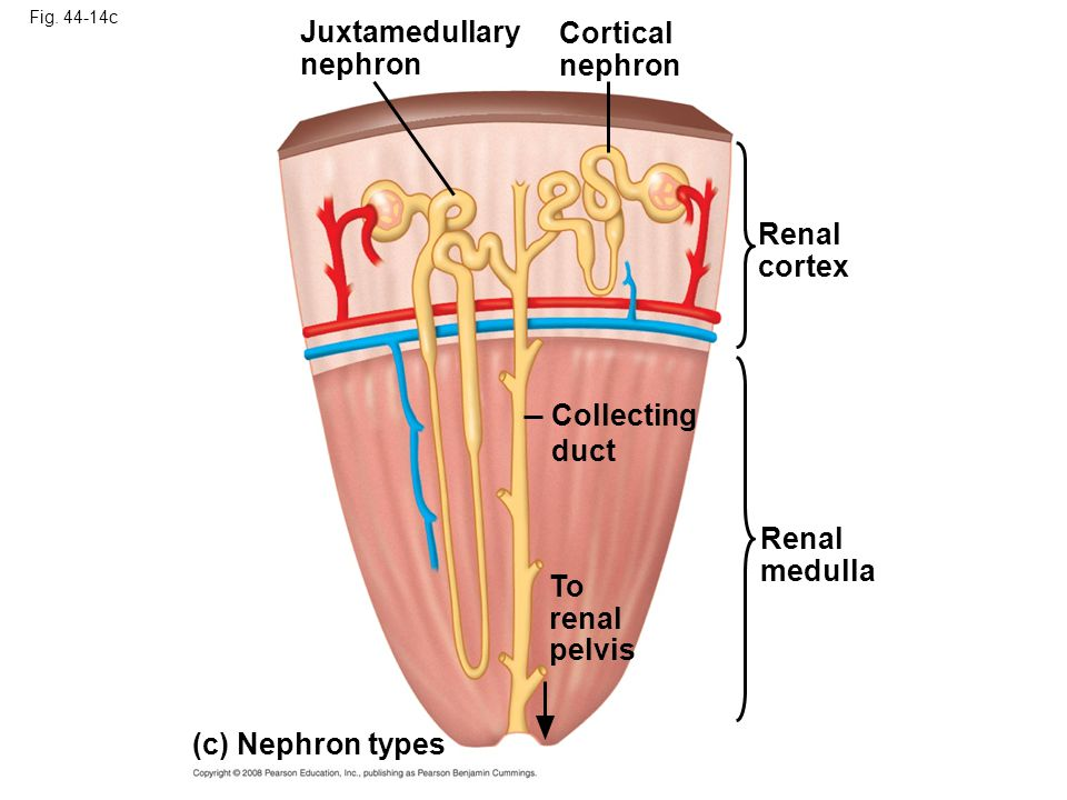 Fig. 44-14c Cortical nephron Juxtamedullary nephron Collecting duct (c) Nephron types To renal pelvis Renal medulla Renal cortex
