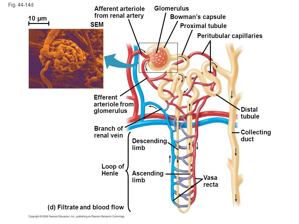 Fig. 44-14d Afferent arteriole from renal artery Efferent arteriole from glomerulus SEM Branch of renal vein Descending limb Ascending limb Loop of He