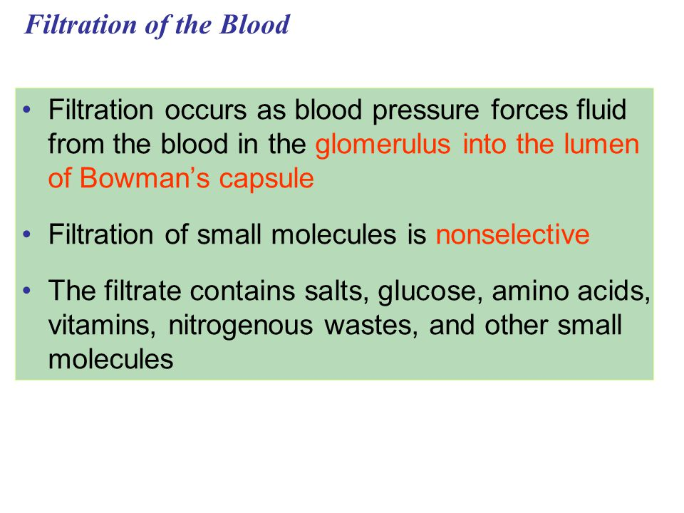 Filtration of the Blood Filtration occurs as blood pressure forces fluid from the blood in the glomerulus into the lumen of Bowman's capsule Filtratio