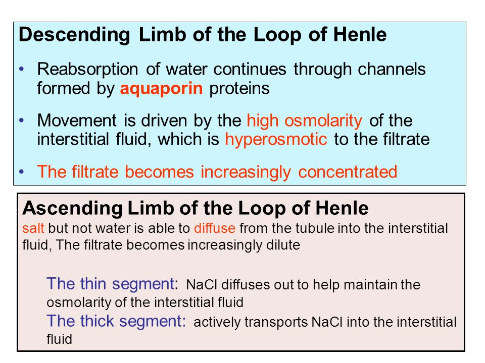 Descending Limb of the Loop of Henle Reabsorption of water continues through channels formed by aquaporin proteins Movement is driven by the high osmo