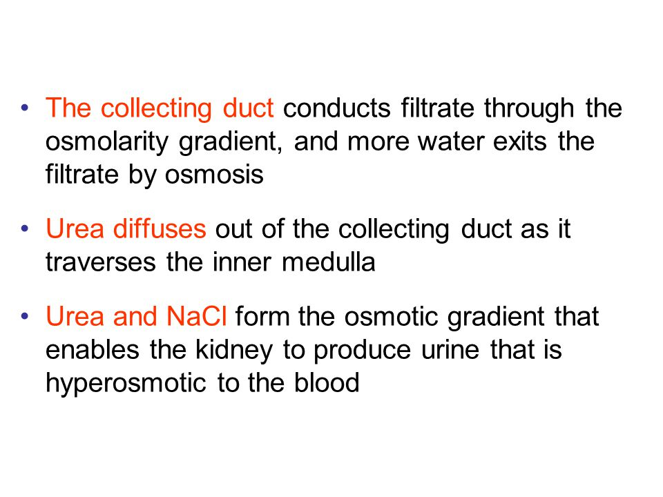The collecting duct conducts filtrate through the osmolarity gradient, and more water exits the filtrate by osmosis Urea diffuses out of the collectin
