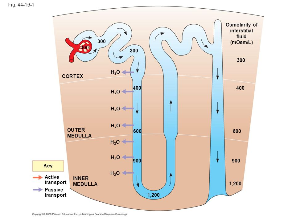 Fig. 44-16-1 Key Active transport Passive transport INNER MEDULLA OUTER MEDULLA CORTEX H2OH2O 300 H2OH2O H2OH2O H2OH2O 400 600 900 H2OH2O H2OH2O 1,200