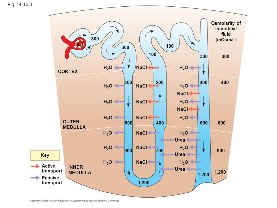 Fig. 44-16-3 Key Active transport Passive transport INNER MEDULLA OUTER MEDULLA CORTEX H2OH2O 300 H2OH2O H2OH2O H2OH2O 400 600 900 H2OH2O H2OH2O 1,200