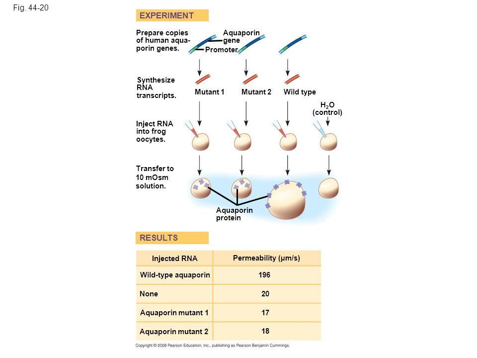 Fig. 44-20 Prepare copies of human aqua- porin genes. 196 Transfer to 10 mOsm solution. Synthesize RNA transcripts. EXPERIMENT Mutant 1 Mutant 2 Aquap