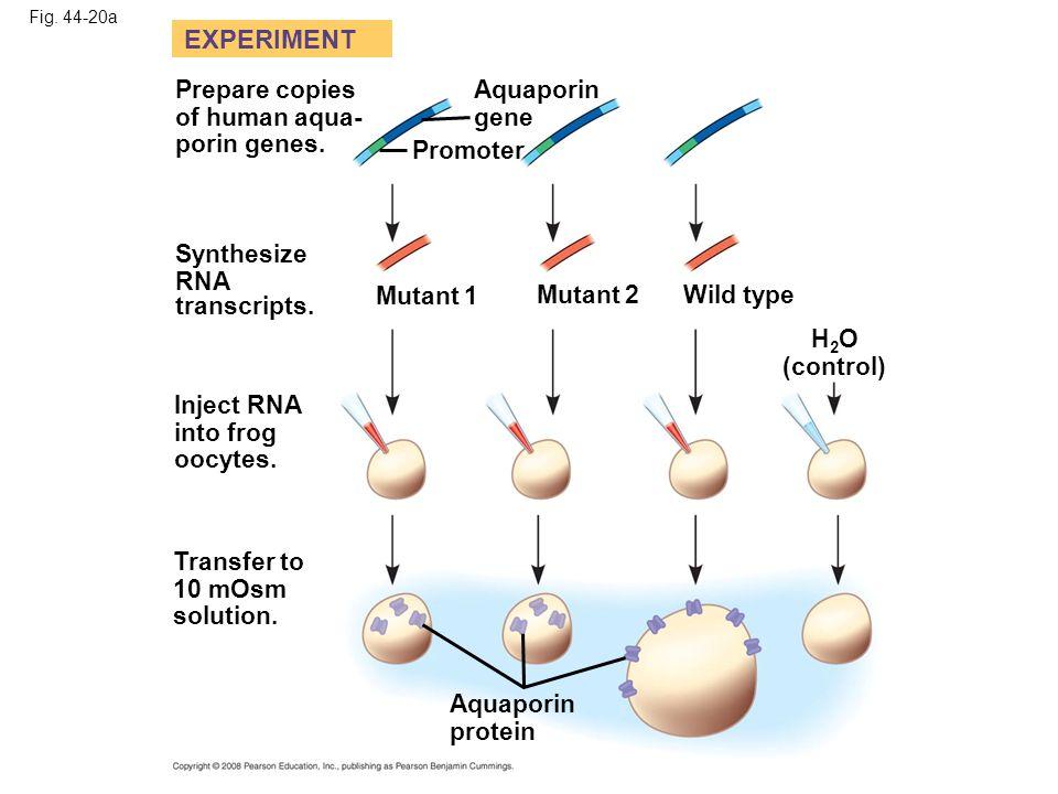 Fig. 44-20a Prepare copies of human aqua- porin genes. Transfer to 10 mOsm solution. Synthesize RNA transcripts. EXPERIMENT Mutant 1 Mutant 2Wild type