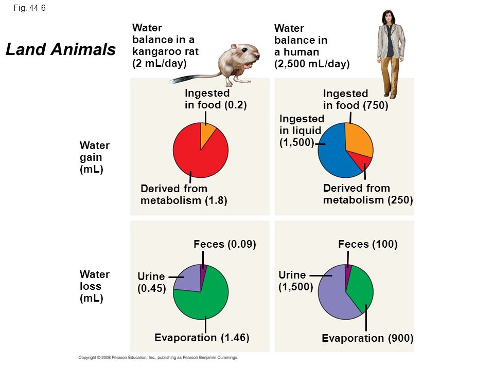 Fig. 44-6 Water gain (mL) Water loss (mL) Urine (0.45) Urine (1,500) Evaporation (1.46) Evaporation (900) Feces (0.09)Feces (100) Derived from metabol