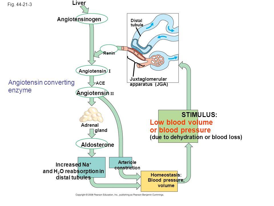 Fig. 44-21-3 Renin Distal tubule Juxtaglomerular apparatus (JGA) STIMULUS: Low blood volume or blood pressure (due to dehydration or blood loss) Homeo