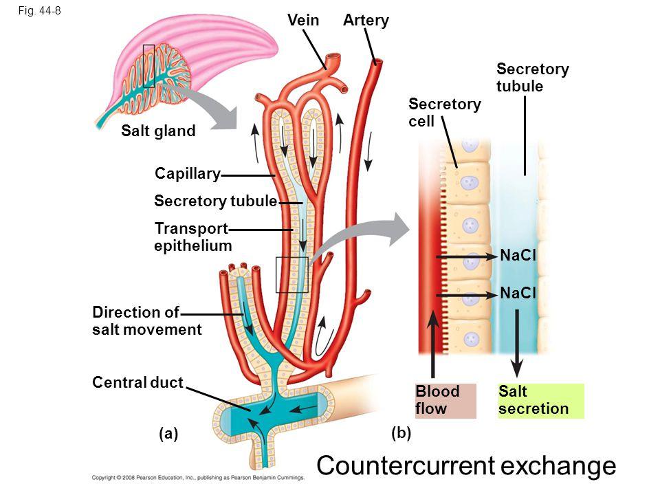 Fig. 44-8 Salt gland Secretory cell Capillary Secretory tubule Transport epithelium Direction of salt movement Central duct (a) Blood flow (b) Secreto