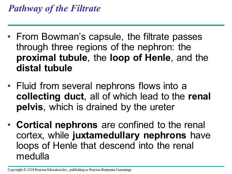 Copyright © 2008 Pearson Education Inc., publishing as Pearson Benjamin Cummings Pathway of the Filtrate From Bowman's capsule, the filtrate passes th