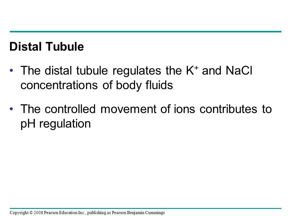 Copyright © 2008 Pearson Education Inc., publishing as Pearson Benjamin Cummings Distal Tubule The distal tubule regulates the K + and NaCl concentrat