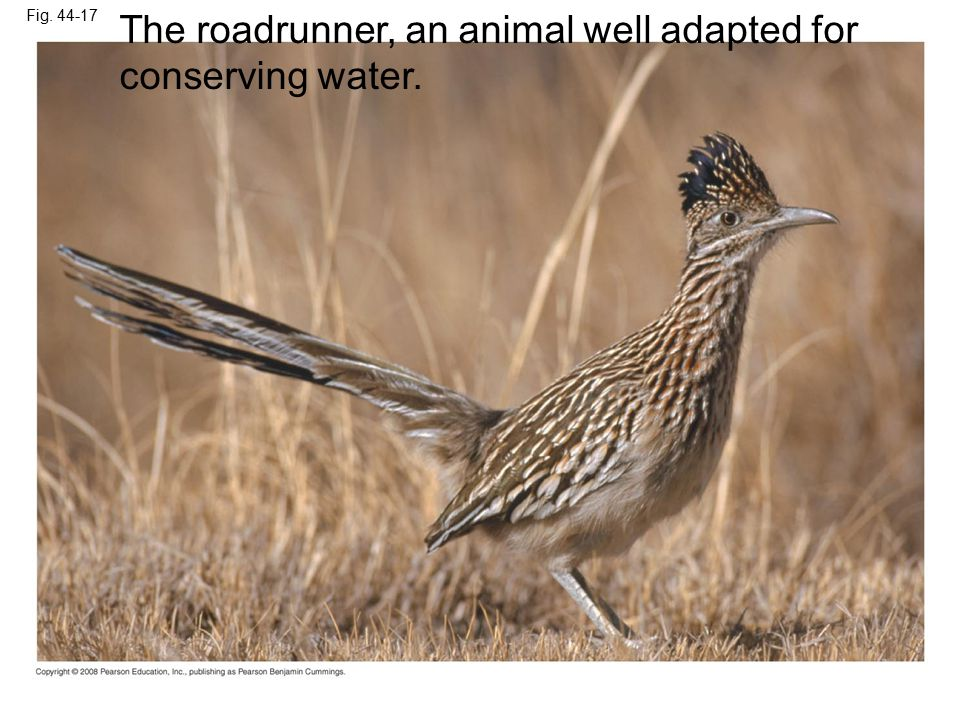 Fig. 44-17 The roadrunner, an animal well adapted for conserving water.
