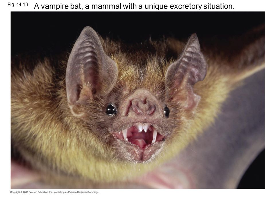 Fig. 44-18 A vampire bat, a mammal with a unique excretory situation.