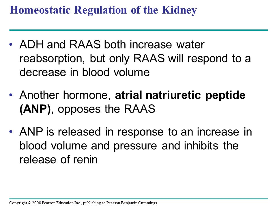 Copyright © 2008 Pearson Education Inc., publishing as Pearson Benjamin Cummings Homeostatic Regulation of the Kidney ADH and RAAS both increase water