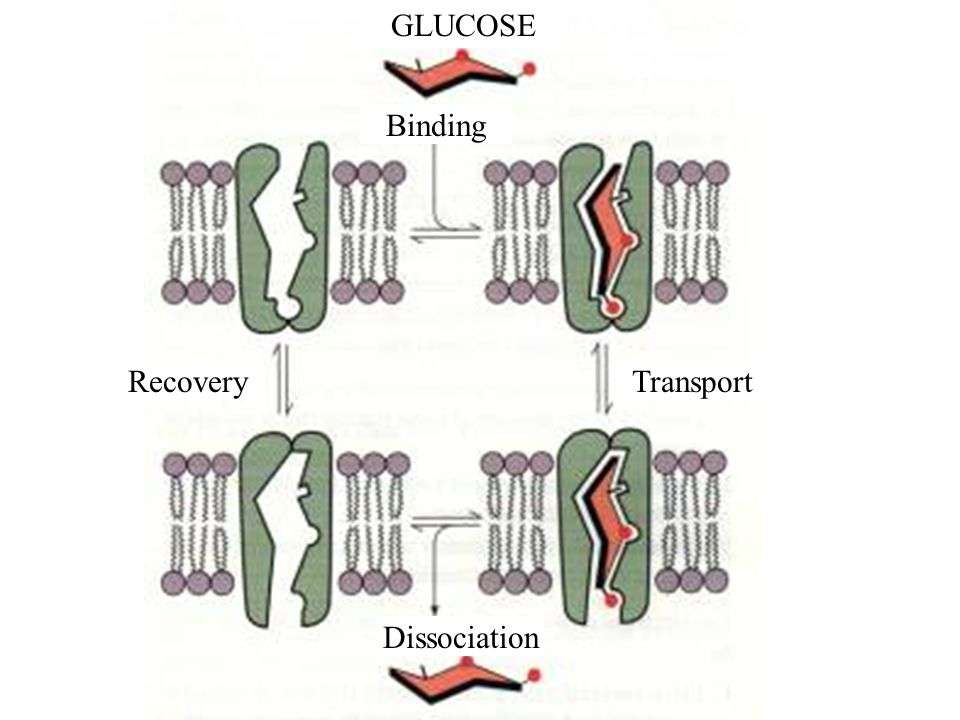 Movement across the cell membrane can be: 1.Passive cell does not have to expend energy 2.Active energy-requiring process during which a transport protein pumps a molecule across a membrane, against its conc.
