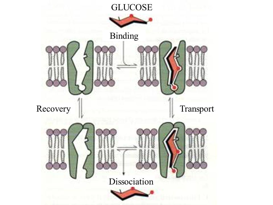 GLUCOSE Binding TransportRecovery Dissociation