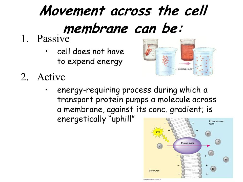 Passive Transport: DIFFUSION net movement of a substance down a concentration gradient –results from KE of molecules –results from random molecular movement –continues until equilibrium is reached (molecules continue to move but there is no net directional movement)