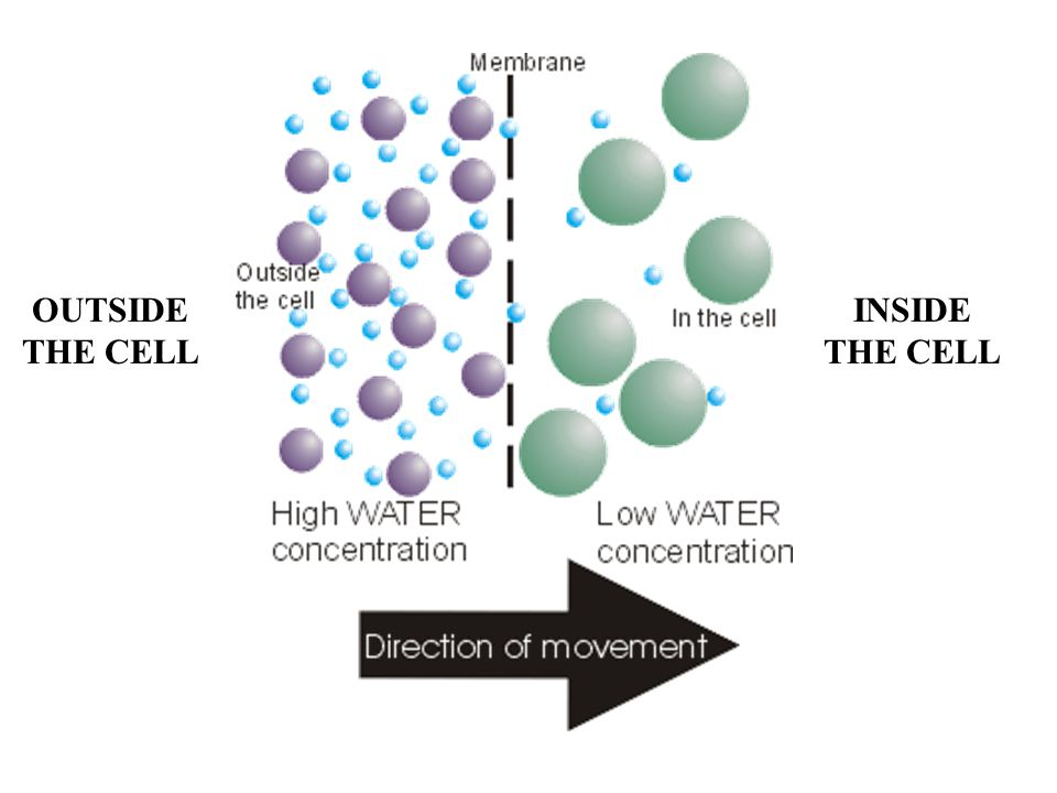 Membrane Potential: voltage across membrane; cell's inside is negatively charged w/respect to outside –favors diffusion of cations into cell and anions out of cell Electrochemical Gradient: diffusion gradient resulting from the combined effects of membrane potential and conc.