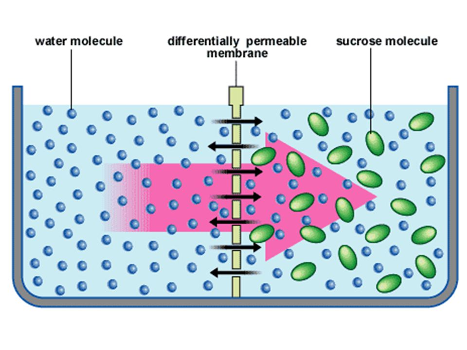 –relationship between solute concentration and movement of water can be described as: HYPERTONIC: a solution w/a greater solute concentration than that inside a cell HYPOTONIC: a solution w/a lower solute concentration compared to that inside a cell ISOTONIC: a solution w/an equal solute concentration compared to that inside a cell