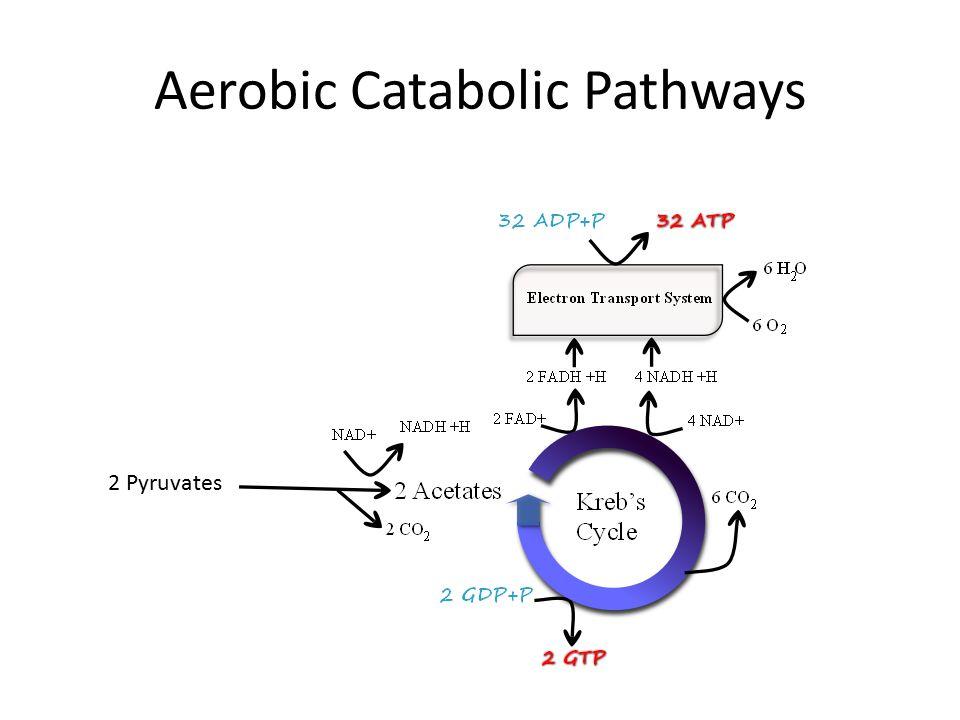 Aerobic Catabolic Pathways 2 Pyruvates