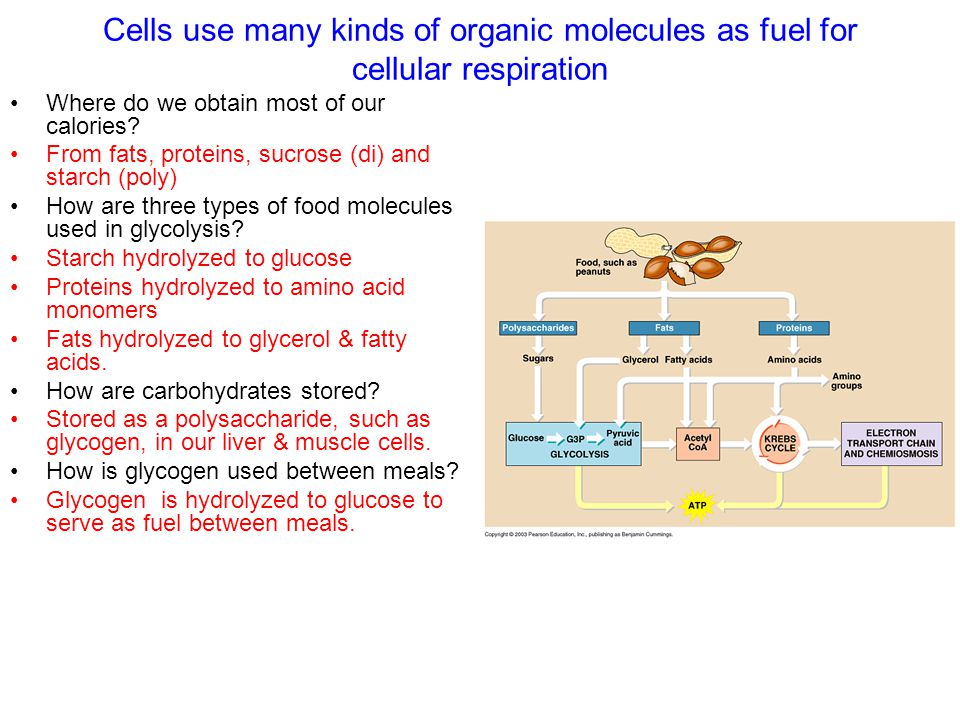 Cells use many kinds of organic molecules as fuel for cellular respiration Where do we obtain most of our calories.