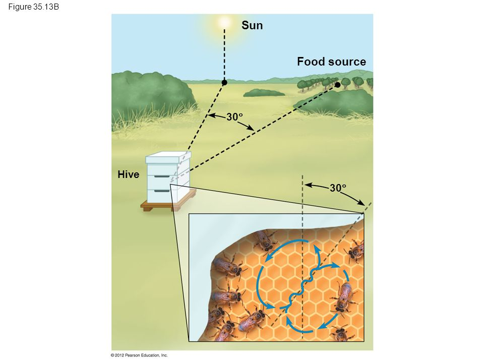 Figure 35.13B Sun Food source 30  Hive