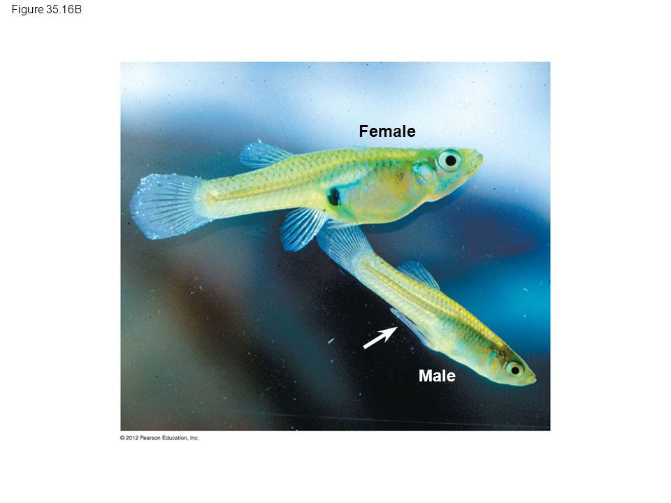 Figure 35.16B Female Male