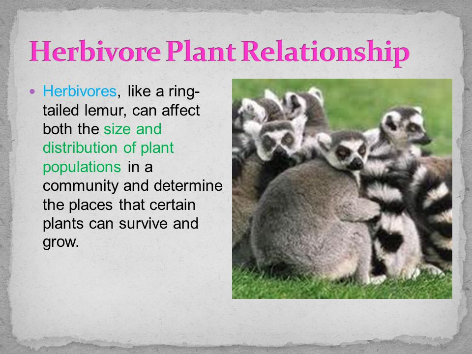 Herbivores, like a ring- tailed lemur, can affect both the size and distribution of plant populations in a community and determine the places that cer