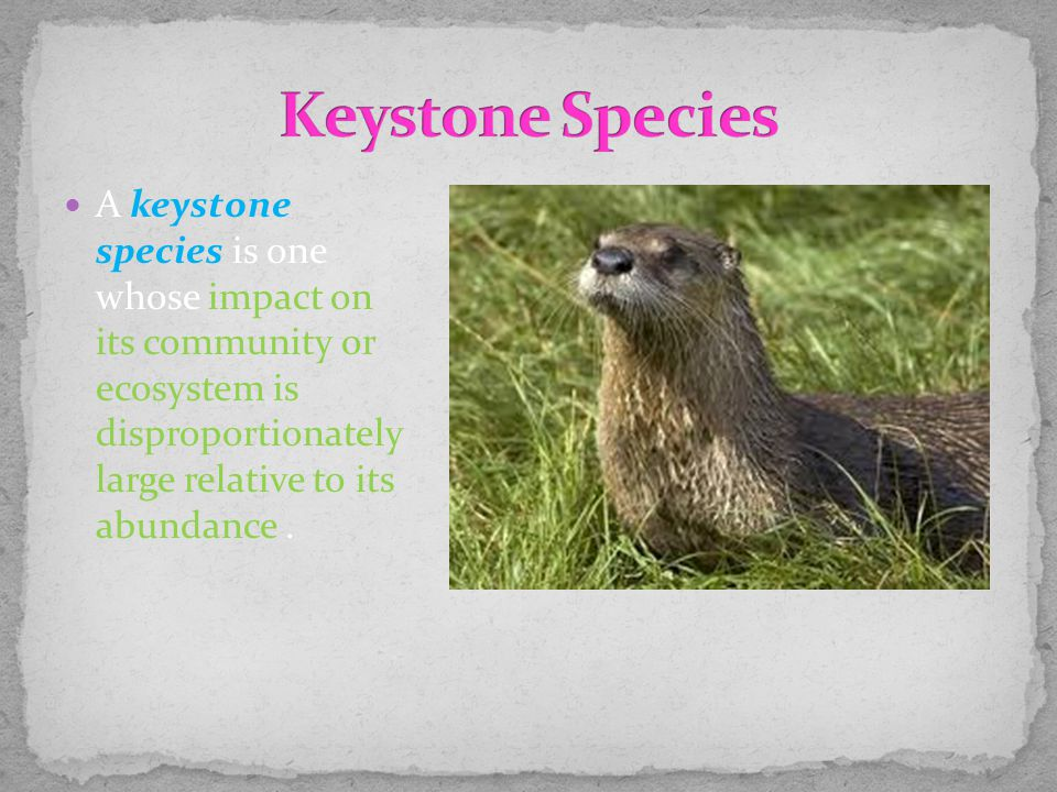 A keystone species is one whose impact on its community or ecosystem is disproportionately large relative to its abundance.
