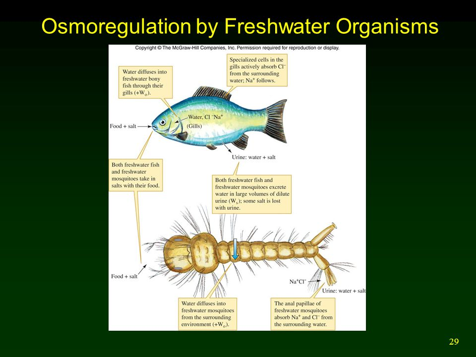 29 Osmoregulation by Freshwater Organisms