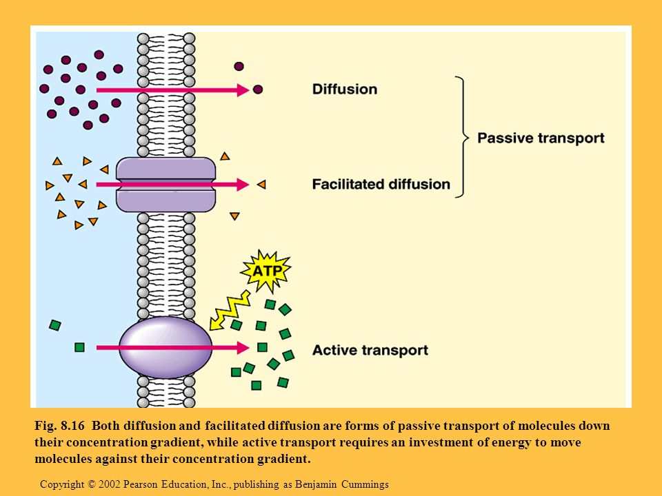 Copyright © 2002 Pearson Education, Inc., publishing as Benjamin Cummings Fig. 8.16 Both diffusion and facilitated diffusion are forms of passive tran
