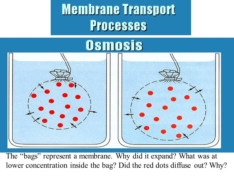 The bags represent a membrane. Why did it expand.