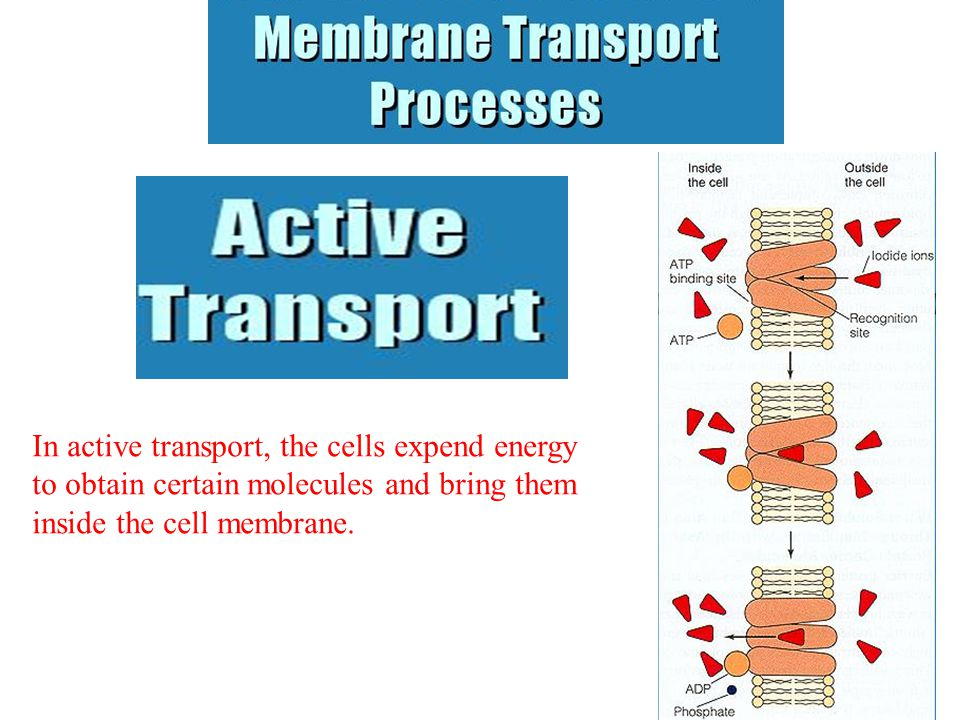 In active transport, the cells expend energy to obtain certain molecules and bring them inside the cell membrane.