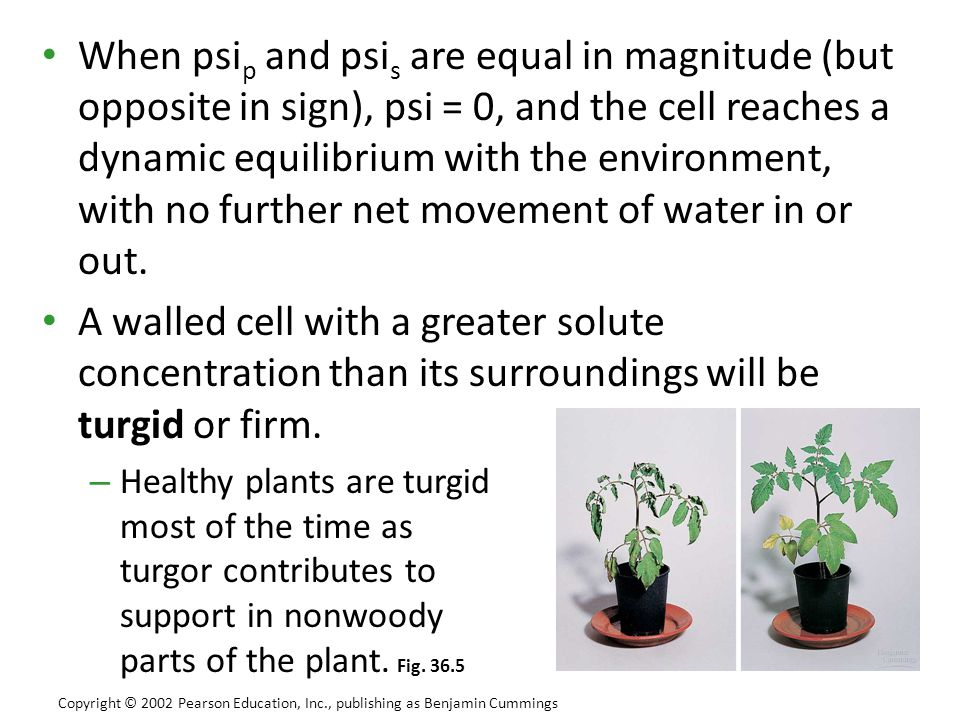 When psi p and psi s are equal in magnitude (but opposite in sign), psi = 0, and the cell reaches a dynamic equilibrium with the environment, with no