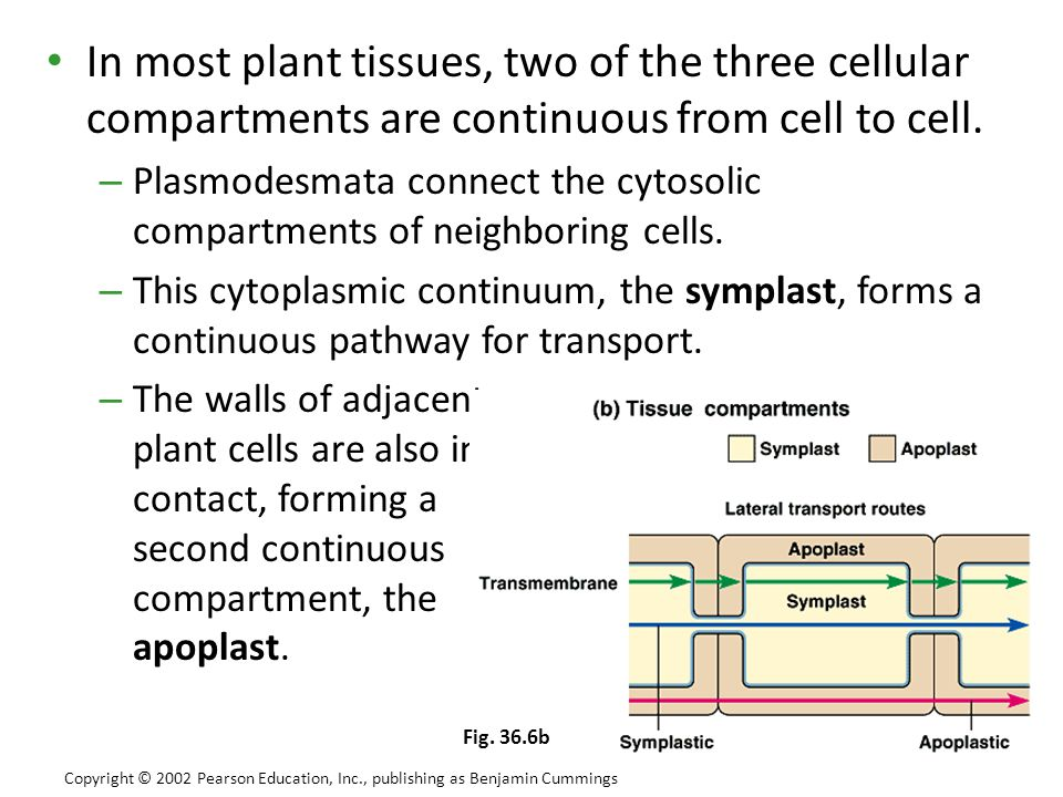 In most plant tissues, two of the three cellular compartments are continuous from cell to cell. – Plasmodesmata connect the cytosolic compartments of