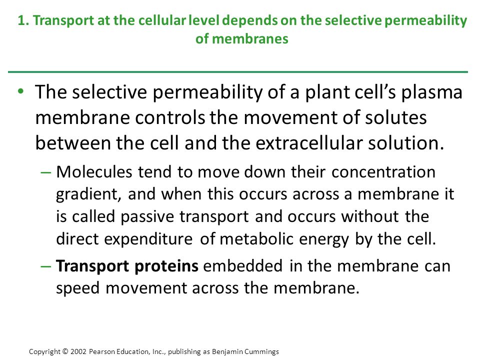 CHAPTER 36 TRANSPORT IN PLANTS Copyright © 2002 Pearson Education, Inc., publishing as Benjamin Cummings Section B: Absorption of Water and Minerals by Roots 1.Root hairs, mycorrhizae, and a large surface area of cortical cells enhance water and mineral absorption 2.