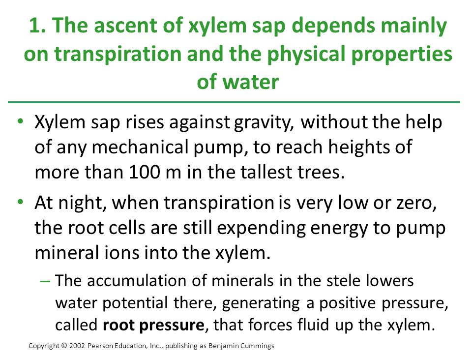 Xylem sap rises against gravity, without the help of any mechanical pump, to reach heights of more than 100 m in the tallest trees. At night, when tra