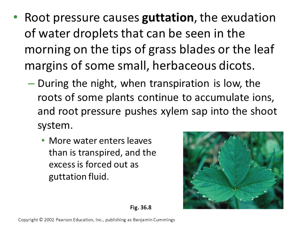 Root pressure causes guttation, the exudation of water droplets that can be seen in the morning on the tips of grass blades or the leaf margins of som