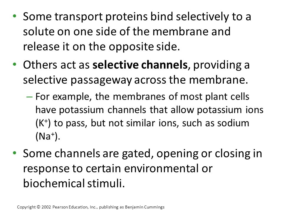 Some transport proteins bind selectively to a solute on one side of the membrane and release it on the opposite side. Others act as selective channels