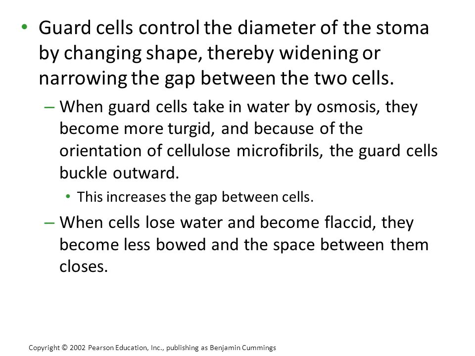 Guard cells control the diameter of the stoma by changing shape, thereby widening or narrowing the gap between the two cells. – When guard cells take