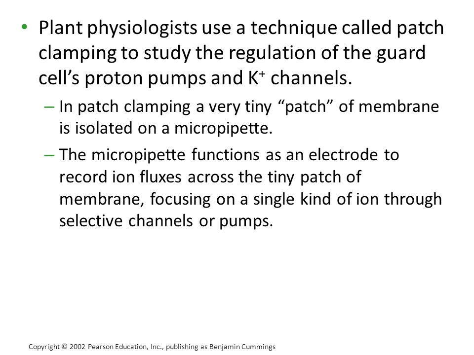 Plant physiologists use a technique called patch clamping to study the regulation of the guard cell's proton pumps and K + channels. – In patch clampi