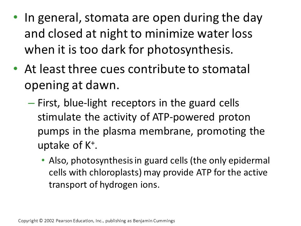 In general, stomata are open during the day and closed at night to minimize water loss when it is too dark for photosynthesis. At least three cues con