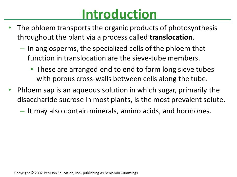 The phloem transports the organic products of photosynthesis throughout the plant via a process called translocation. – In angiosperms, the specialize