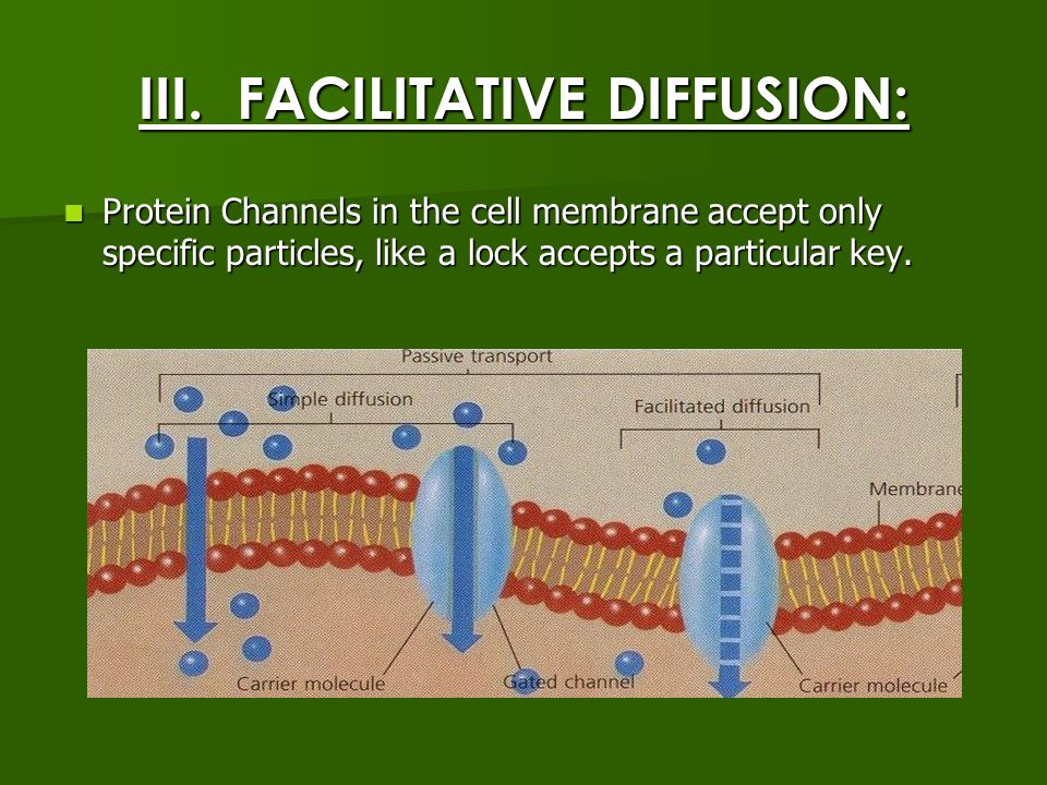 III. FACILITATIVE DIFFUSION: Protein Channels in the cell membrane accept only specific particles, like a lock accepts a particular key. Protein Chann