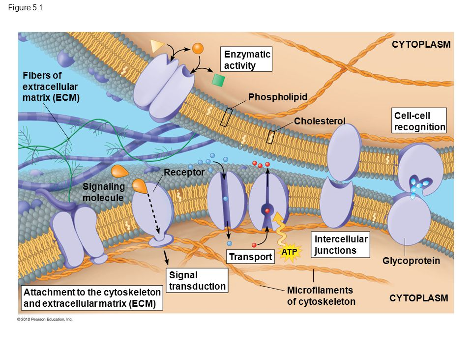 Figure 5.1 Fibers of extracellular matrix (ECM) Enzymatic activity Phospholipid Cholesterol CYTOPLASM Cell-cell recognition Glycoprotein Intercellular