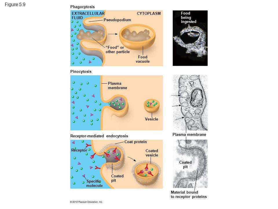 "Figure 5.9 Phagocytosis Pinocytosis Receptor-mediated endocytosis EXTRACELLULAR FLUID CYTOPLASM Pseudopodium ""Food"" or other particle Food vacuole Foo"