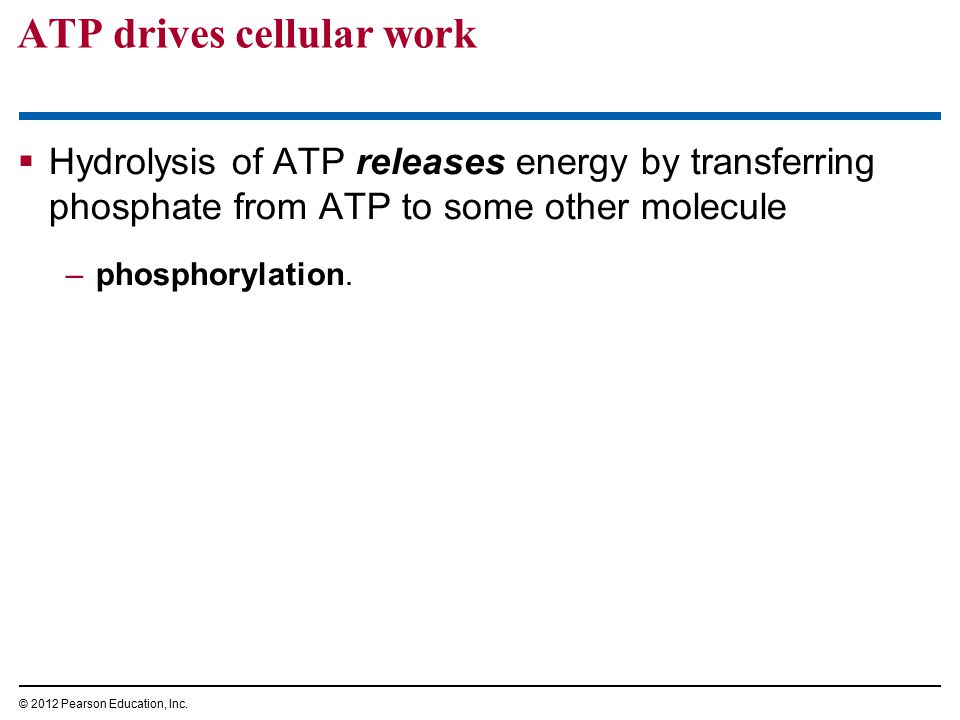 ATP drives cellular work  Hydrolysis of ATP releases energy by transferring phosphate from ATP to some other molecule –phosphorylation. © 2012 Pearso