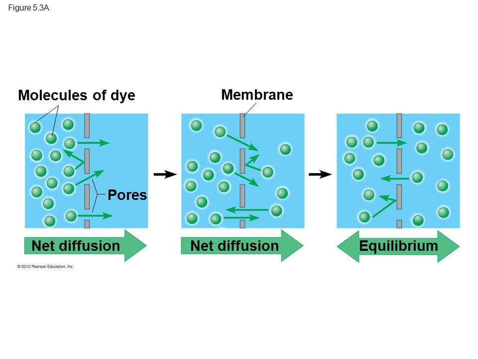 Figure 5.3A Molecules of dye Membrane Pores Net diffusion Equilibrium