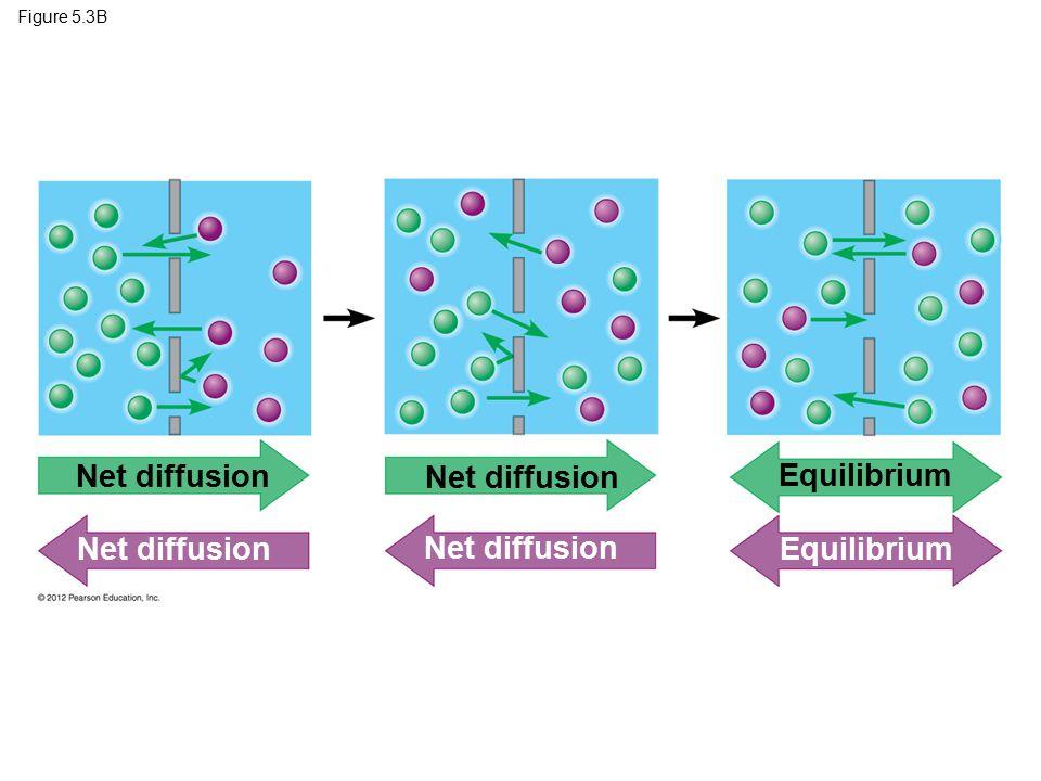 Figure 5.3B Net diffusion Equilibrium